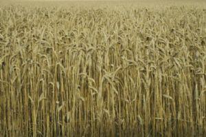 le gouvernement distribue gratuitement des céréales au profit des populations nécessiteuses
