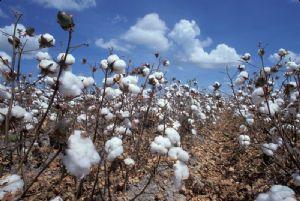 Des villages abandonnent la culture du coton