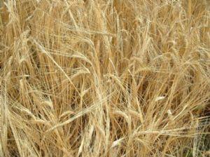 La faim persiste dans les zones de conflits chroniques malgré de bonnes récoltes mondiales
