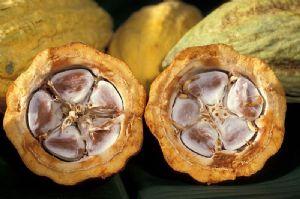 Côte d'Ivoire : Un expert propose sa recette contre le vieillissement des vergers de cacao