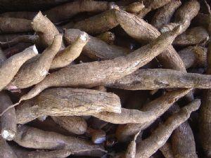 4ème Conférence scientifique du partenariat mondial du manioc : la lutte contre la striure brune, au cœur des débats