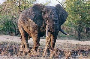 Un touriste chinois tué par un éléphant au Botswana