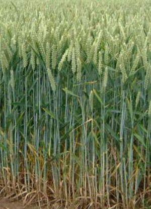 La Mauritanie va augmenter à 110% ses surfaces cultivables pour produire 37% de ses besoins céréaliers