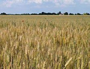 Maurice : La culture expérimentale de blé étendue à plus grande superficie