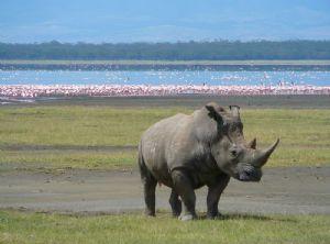 Le nombre rhinocéros massacrés en Afrique du Sud atteint un record :autorités