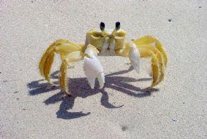 Maurice veut se lancer dans l'élevage des crabes