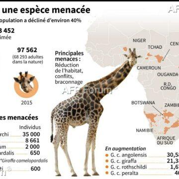 Afrique: La girafe et la menace d'»extinction silencieuse»