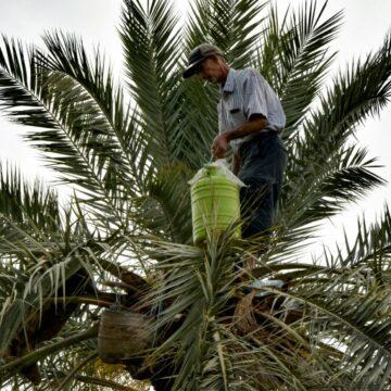 Reportage/Tunisie: Les saveurs du legmi, fragile «cadeau» du palmier dattier