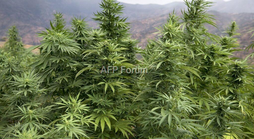 Au Maroc, le cannabis «terroir» supplanté par les hybrides
