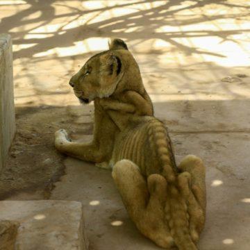 Soudan: multiplication des appels pour sauver cinq lions «malades et mal-nourris»