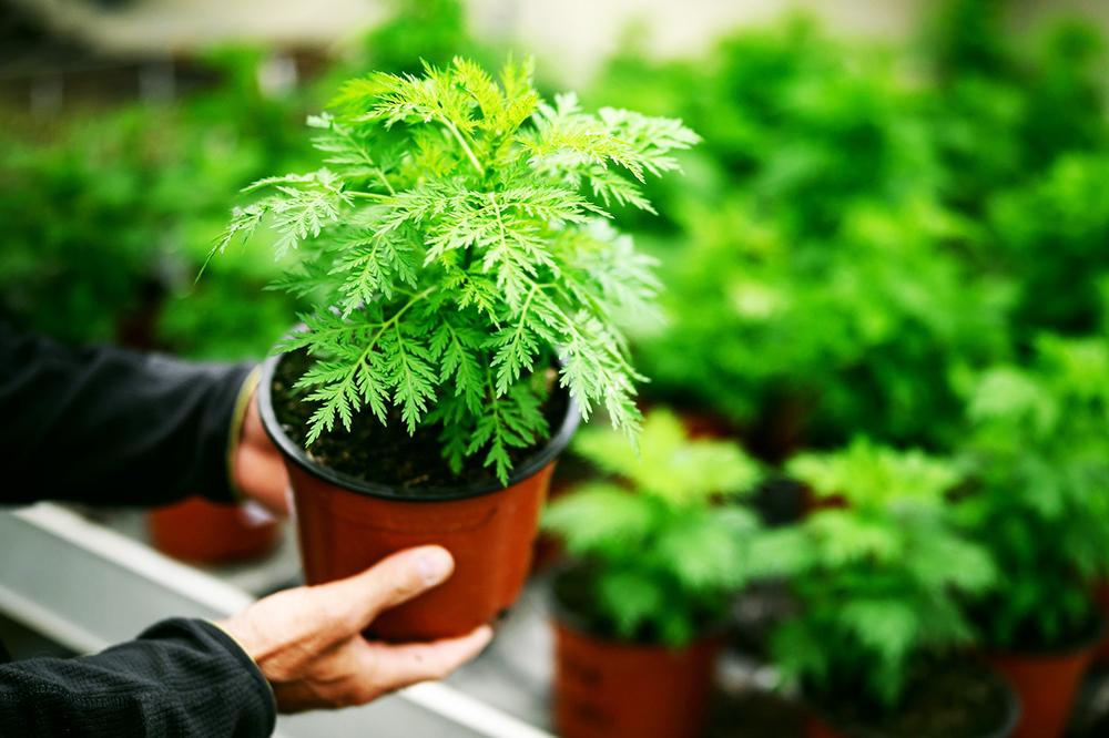 L'Artemisia relance le Covid-Organics